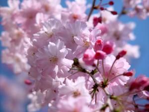 020330Jindai_Sakura01905